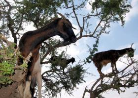 Essaouira - goats in trees